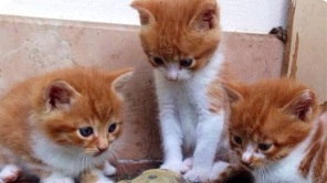 Katzenkinder suchen mit Familienanhang gemütliches Zuhause in Bad Münstereifel und Umgebung